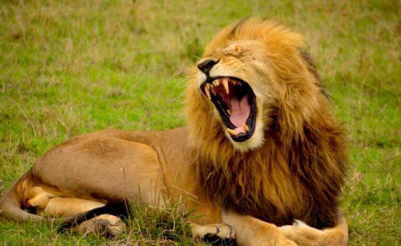 Brüllender Löwe in der Steppe